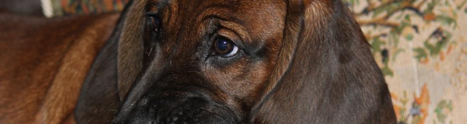 Adopter Un Chihuahua A La Spa